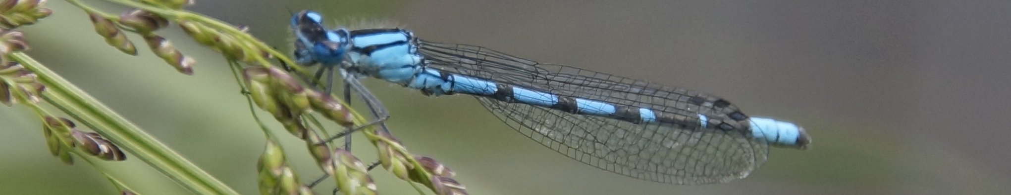 Common Blue Damselfly-cropped